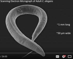 C elegans 3D electron microscope image