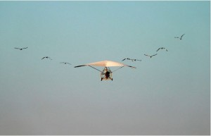 Whooping cranes after a plane