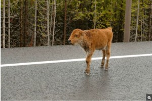 a calf who missed the imprinting window