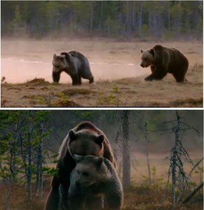 Final stages of bears' courtship